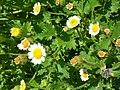 Starr-050525-1886-Perityle emoryi-flowers-Gravel pit-Kahoolawe (24762007665).jpg