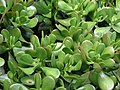 Starr-070906-8775-Crassula ovata-arborescens habit-Kula Ace Hardware and Nursery-Maui (24265106803).jpg