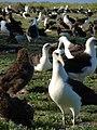 Starr-080531-4717-Cynodon dactylon-habit with Laysan albatross-Parade field Sand Island-Midway Atoll (24543009259).jpg
