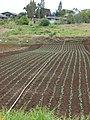 Starr-090430-6762-Brassica oleracea var capitata-crop-Kula-Maui (24953279395).jpg