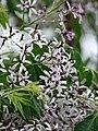 Starr-090518-7887-Melia azedarach-flowers-Omaopio-Maui (24837404902).jpg