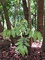 Starr-090714-2832-Swietenia macrophylla-seedling-Honokahau Valley-Maui (24341368613).jpg