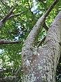 Starr-091104-9199-Spondias purpurea-trunk and canopy-Kahanu Gardens NTBG Kaeleku Hana-Maui (24962481606).jpg