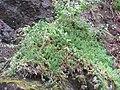 Starr-100430-5221-Erigeron karvinskianus-habit-Iao-Maui (24401391234).jpg