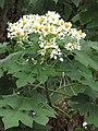 Starr-101130-9607-Montanoa hibiscifolia-flowers-Ulupalakua-Maui (24430385513).jpg