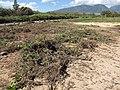 Starr-110312-3180-Heliotropium anomalum var argenteum-tsunami damage-Kanaha Beach-Maui (24961282072).jpg