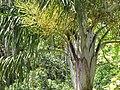 Starr-110330-4173-Dypsis madagascariensis-crown-Garden of Eden Keanae-Maui (24988037161).jpg