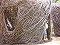 Starr-120530-6729-Fraxinus uhdei-habit and art display made of branches with Kim-Hui Noeau Makawao-Maui (25025932492).jpg