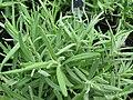 Starr-120613-9676-Lavandula angustifolia-leaves-Lowes Nursery Kahului-Maui (24849863090).jpg