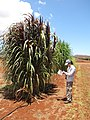 Starr-120702-7883-Cenchrus purpureus x glaucum-Hoolehua PMC hybrid Pearl Millet x banagrass purple var with Kim-USDA Plant Materials Center-Molokai (25092942351).jpg