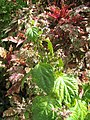 Starr-121108-1096-Pogostemon cablin-leaves and flowers-Pali o Waipio-Maui (24827691409).jpg
