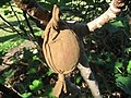 Starr-121108-1125-Ficus carica-fruit protected from birds with pantyhose-Pali o Waipio-Maui (24829141529).jpg