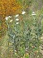Starr-130605-4699-Argemone glauca-flowering habit with kangaroo paw-Kula-Maui (24915931320).jpg
