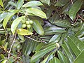 Starr-140909-1702-Artabotrys hexapetalus-leaves and fruit-Wailua-Maui (24618952283).jpg