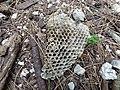 Starr-150331-0816-Euphorbia peplus-paper wasp nest-Brackish Pond Sand Island-Midway Atoll (25245262986).jpg