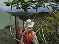 Starr-170727-0311-Ilex anomala-with Forest-Makamakaole-Maui - Flickr - Starr Environmental.jpg