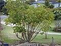 Starr 010419-0025 Schefflera actinophylla.jpg