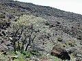 Starr 030419-0126 Sophora chrysophylla.jpg