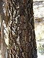 Starr 031013-0014 Acacia mangium.jpg