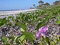 Starr 031108-0286 Ipomoea pes-caprae subsp. brasiliensis.jpg