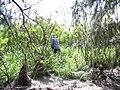 Starr 040121-0025 Leucaena leucocephala.jpg