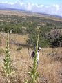 Starr 040723-0210 Verbascum thapsus.jpg