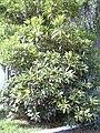 Starr 040828-0002 Pittosporum undulatum.jpg