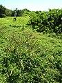 Starr 050222-4167 Eragrostis variabilis.jpg