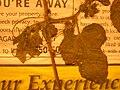 Starr 050427-0673 Passiflora foetida.jpg