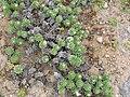 Starr 050519-1716 Heliotropium anomalum var. argenteum.jpg