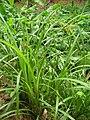 Starr 060625-8206 Cyperus hypochlorus var. hypochlorus.jpg