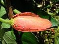 Starr 060905-8724 Passiflora vitifolia.jpg