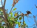 Starr 060922-9118 Erythrina crista-galli.jpg