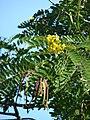 Starr 061128-1632 Senna siamea.jpg