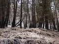 Starr 070908-9177 Pinus sp..jpg