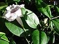 Starr 080103-1174 Pandorea jasminoides.jpg