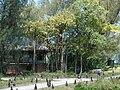 Starr 080531-4734 Ficus benghalensis.jpg