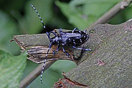 Starry Skies Beetle - Anoplophora freyi, Mt. Emei, Szechuan, China.jpg