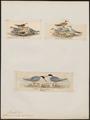 Sterna minuta - 1700-1880 - Print - Iconographia Zoologica - Special Collections University of Amsterdam - UBA01 IZ17900362.tif