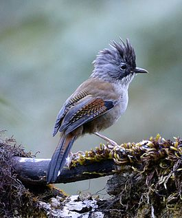 Streak-throated Barwing.jpg