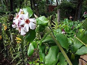 Ouabain - Strophanthus gratus plant.