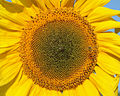 Sunflower 2009 07 24 4412.jpg