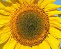 Sunflower 2009 07 24 4412.jpg