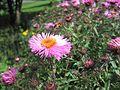 Symphyotrichum novae-angliae Herisau 01.jpg