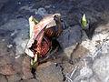 Symplocarpus foetidus SCA-05559.jpg