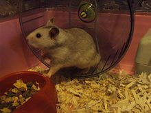 Golden hamster - Wikipedia
