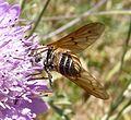 Tabanidae - Flickr - gailhampshire (4).jpg