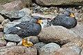 Tachyeres pteneres (Fuegian Steamer Duck - Magellan-Dampfschiffente) - Weltvogelpark Walsrode 2012-05.jpg