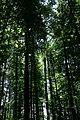Tall Trees at Waterfall (19318324309).jpg