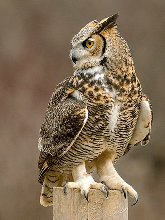 Great horned owl - Great horned owl (Canada)